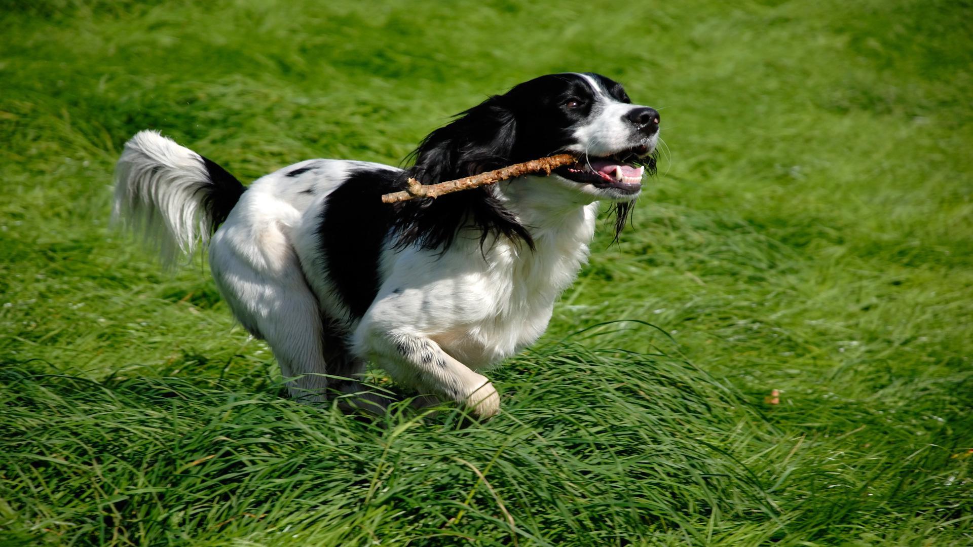 Meet the breed: English Springer Spaniel