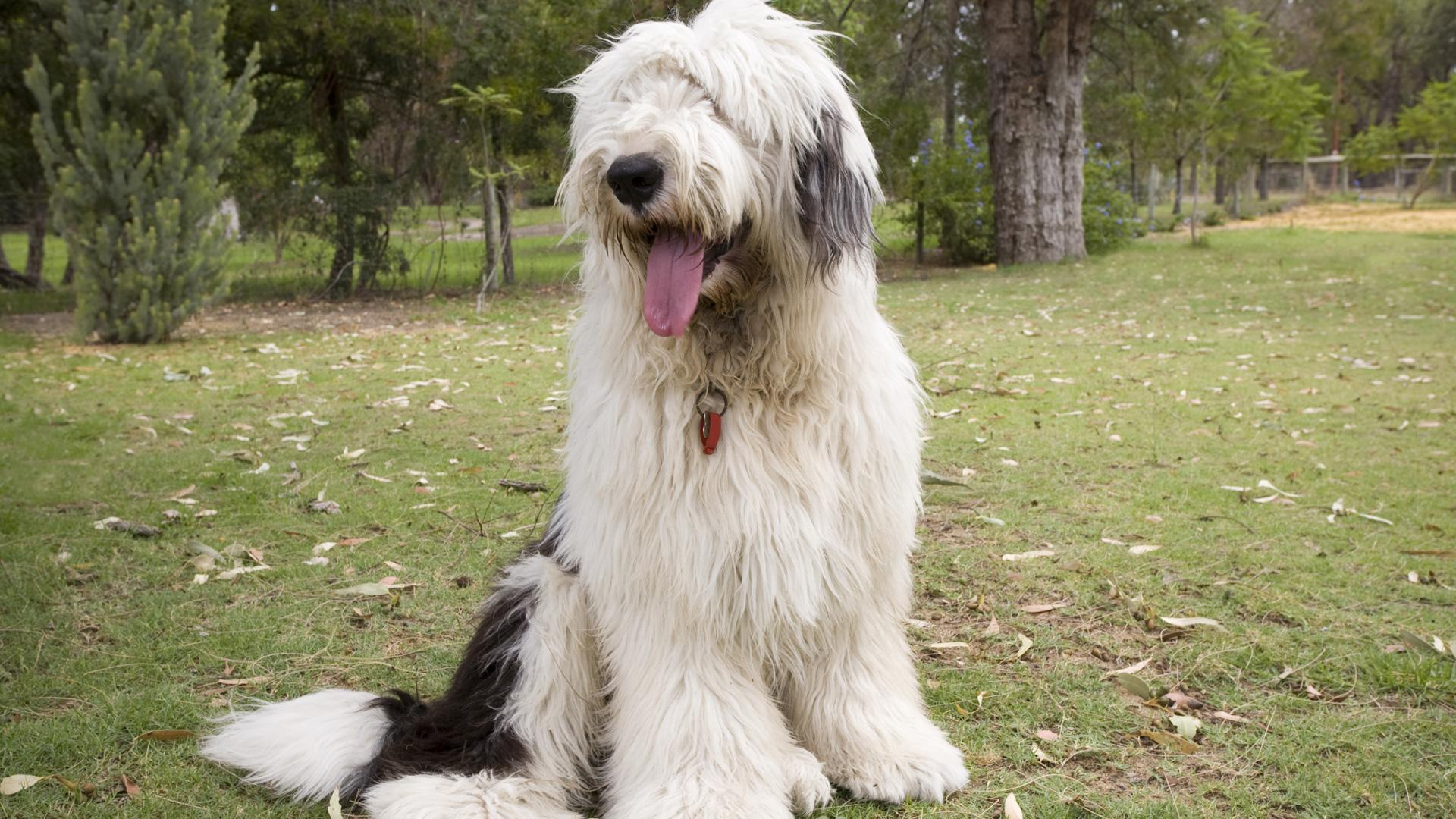 Meet the breed: Old English Sheepdog