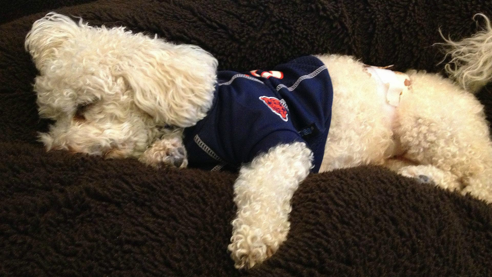 Dogs whose Super Bowl dreams will have to wait until next year