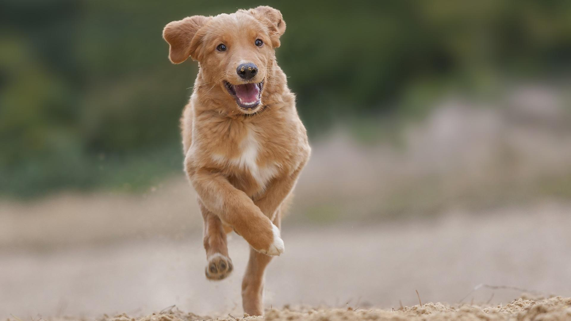 Meet the breed: Nova Scotia Duck Tolling Retriever