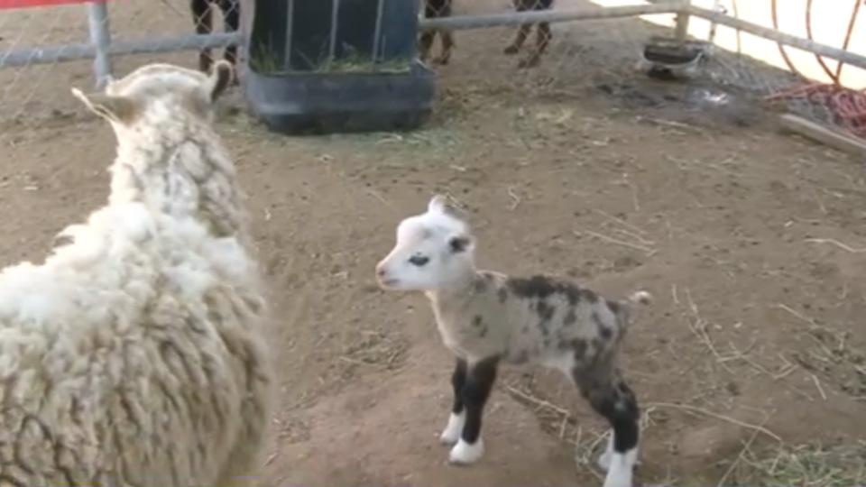 This rare hybrid could be the world's cutest barnyard baby ever (VIDEO)