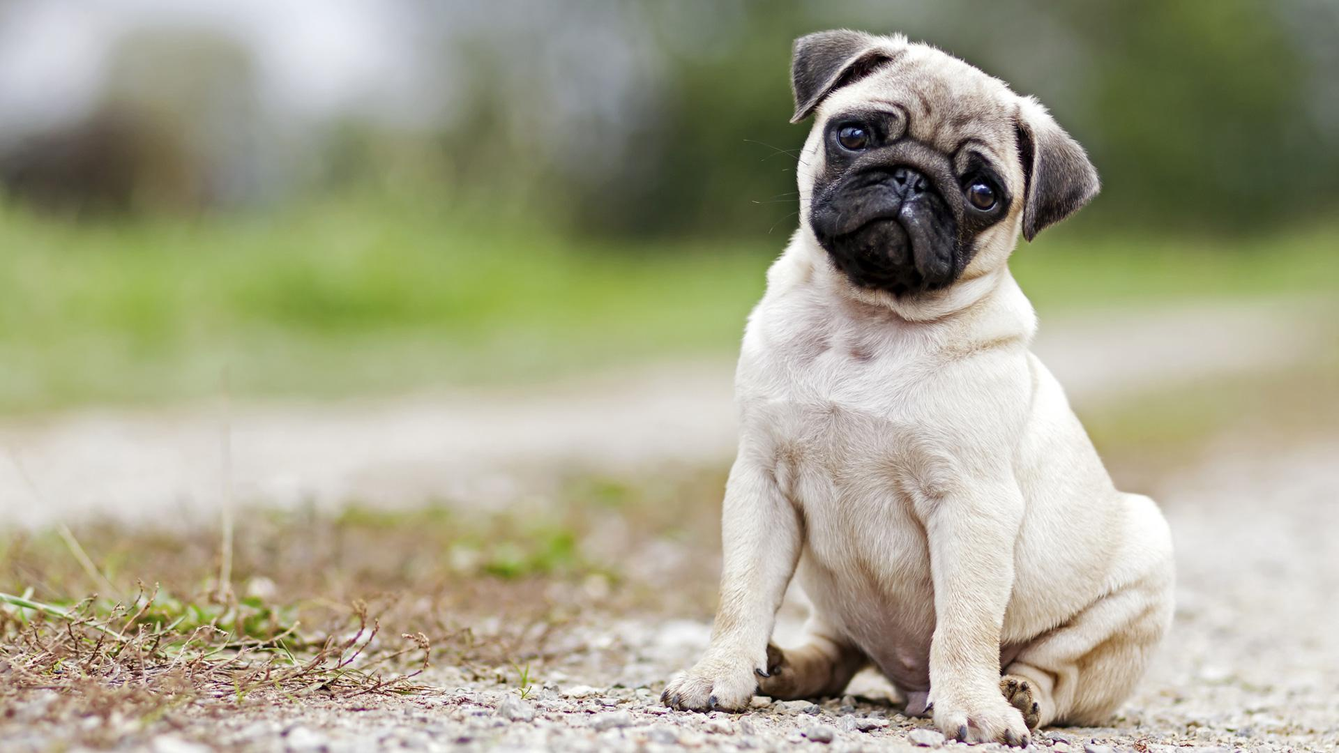 Pug puppies should rule the world, and this video proves it