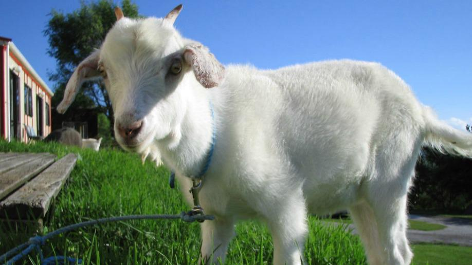 Genius new program uses goats to recycle Christmas trees